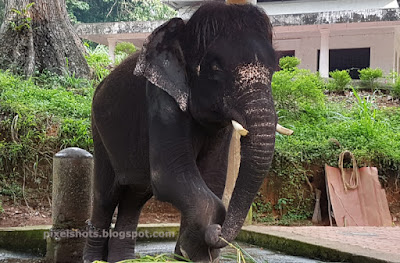 Elephant Calf or Baby named Krishna from Konni Elephant Camp in Kerala