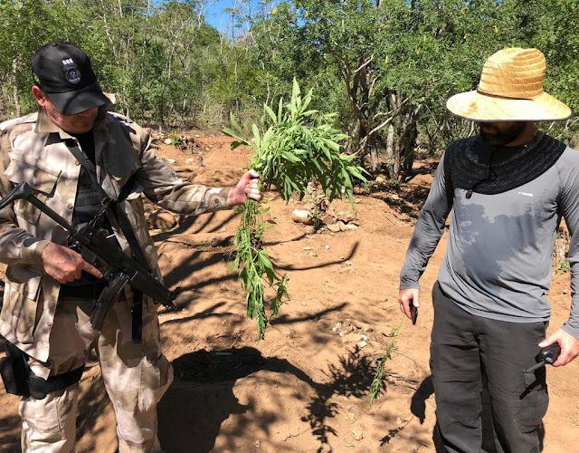 Em Canapi, mais de 700 pés de maconha pela polícia federal e SSP/AL