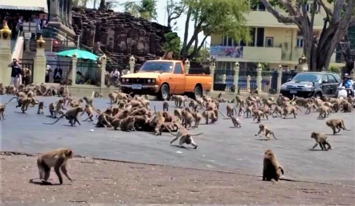 Pelea monumental entre dos pandillas de monos en Tailandia