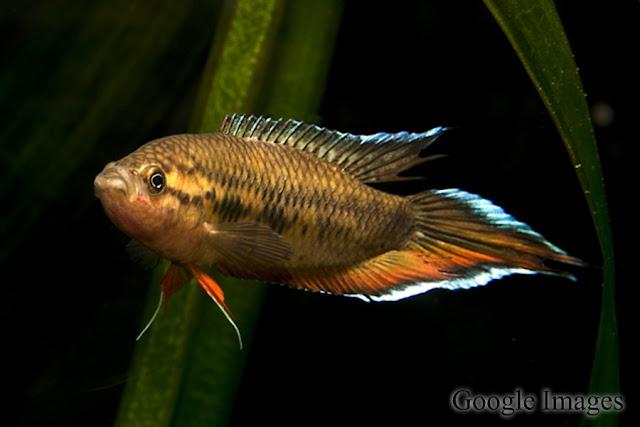 Spiketail Paradisefish