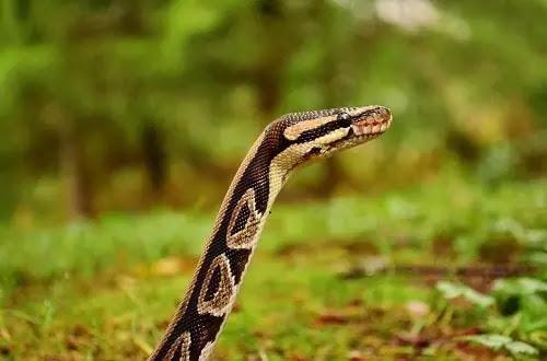 gambar reptil python