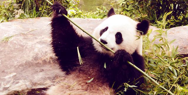 Je suis nulle en photo. Mais ces pandas sont tellement photogéniques.