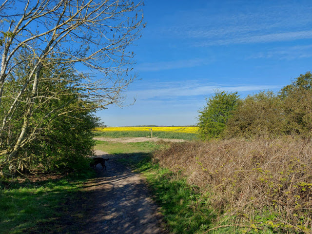 A footpath leading towards a field of yellow rape flowers and a wooden footpath sign