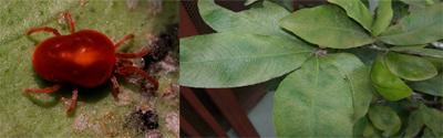 bệnh cây sầu riêng do nhện đỏ gây ra