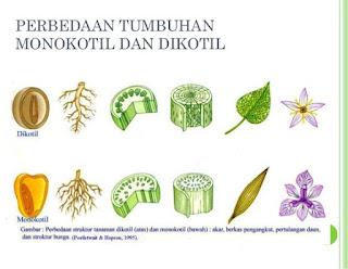 ciri ciri tumbuhan dikotil dan monokotil,contoh tumbuhan monokotil dan dikotil,contoh tumbuhan dikotil dan monokotil beserta ciri cirinya,tumbuhan monokotil dan dikotil beserta contohnya,