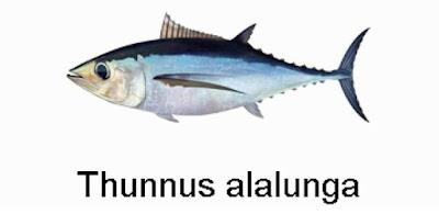 Gambar Ikan Tuna Albakor
