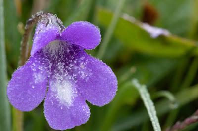 [Lentibulariaceae] Pinguicula vulgaris – Common Butterwort (Erba unta comune)