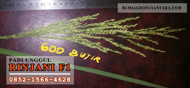 varietas padi unggul produksi tinggi,  harga benih padi per kg,  jenis padi unggul umur pendek,  varietas padi batan,  benih unggul batan,  benih padi unggul 2018,  benih padi batan,  bibit padi unggul 2018,Rinjani F1, benih padi rinjani f1, padi unggul rinjani f1,