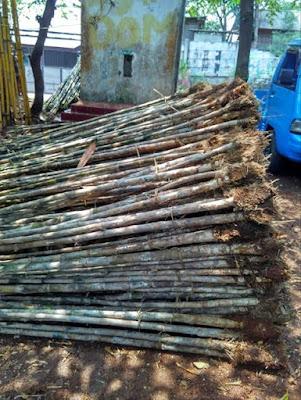 Jual Pohon Bambu Jepang - Tanaman Pagar Hidup