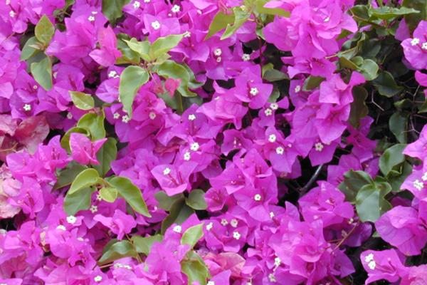 Panduan Cara Merawat Bunga Bougainvillea