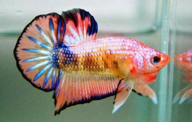 Jenis ikan cupang (Betta) hias dan aduan - Glamorous Fish