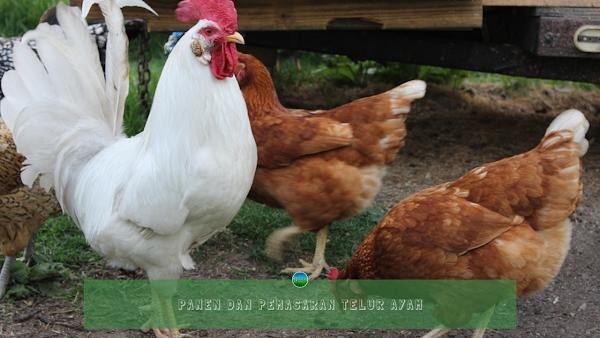 Panen dan Pemasaran Telur Ayam