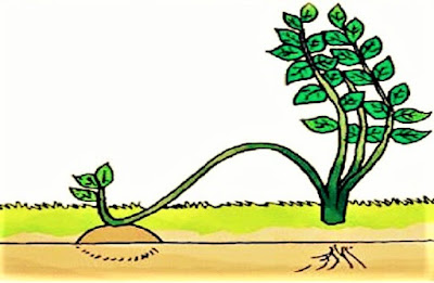 Merunduk perkembangbiakan vegetatif buatan