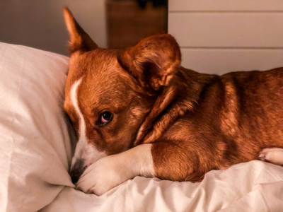 A Corgi is lying in bed with a paw over it's mouth and nose