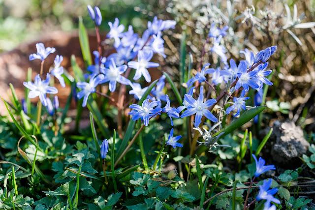 Frühling im Garten, Pomponetti