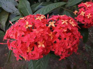 Ixora coccinea(Jungle geranium flower)