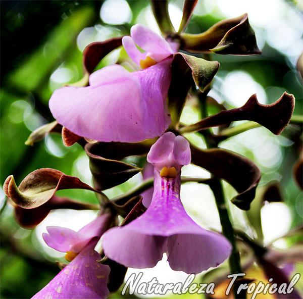 Otra foto de las flores de la orquídea Encyclia cordigera
