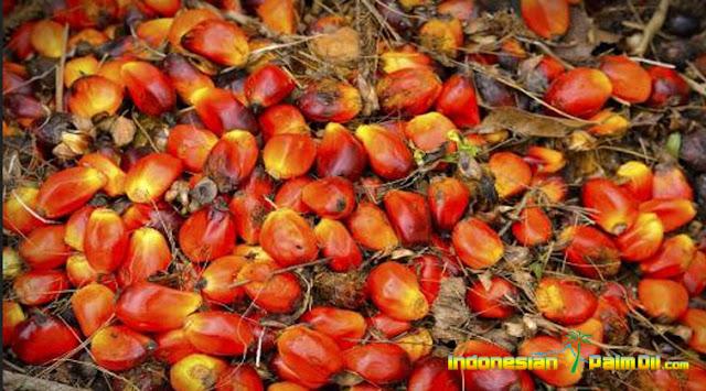CPO Akan Jadi Bahan Baku Pabrik Biodiesel Pengganti Jarak Pagar