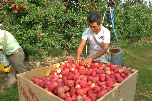 FRUITWOOD FARMS LTD. SOLICITA 30 TRABAJADORES AGRÍCOLAS PARA CULTIVOS Y COSECHA DE MANZANAS