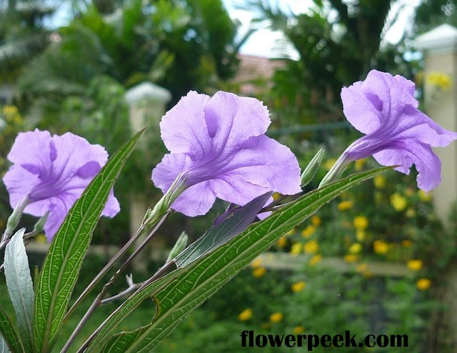 Tips on how to care for Ruellia plants