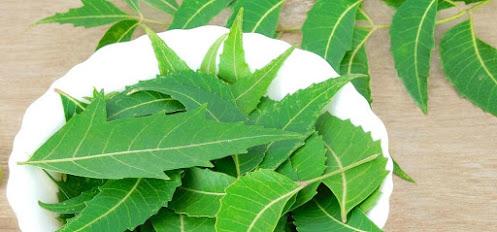 Manfaat daun neem atau nimba saat dibuat menjadi teh.