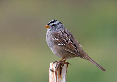 Photo of White-crowned Sparrow on fence post