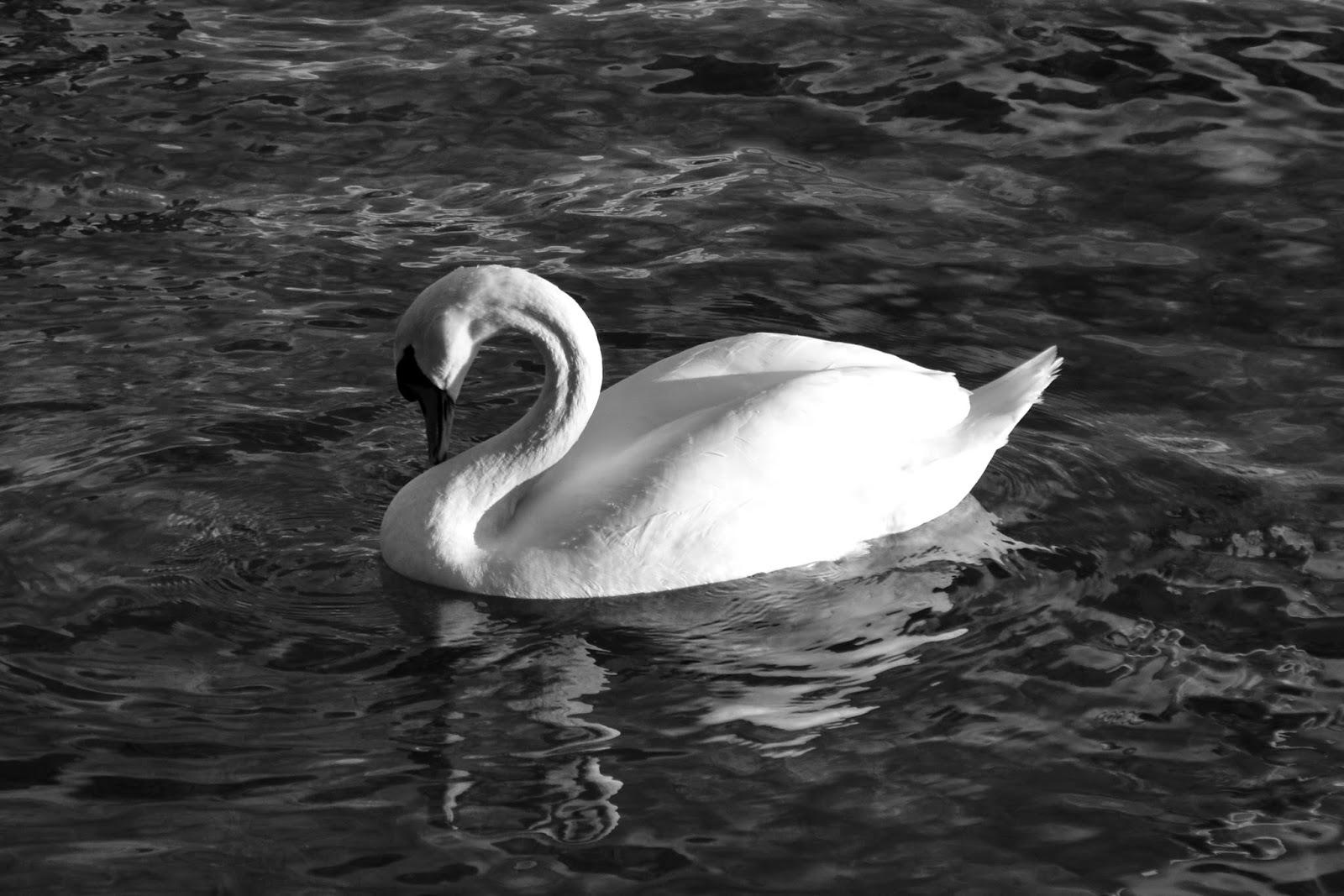 Cygne au lac d'Annecy