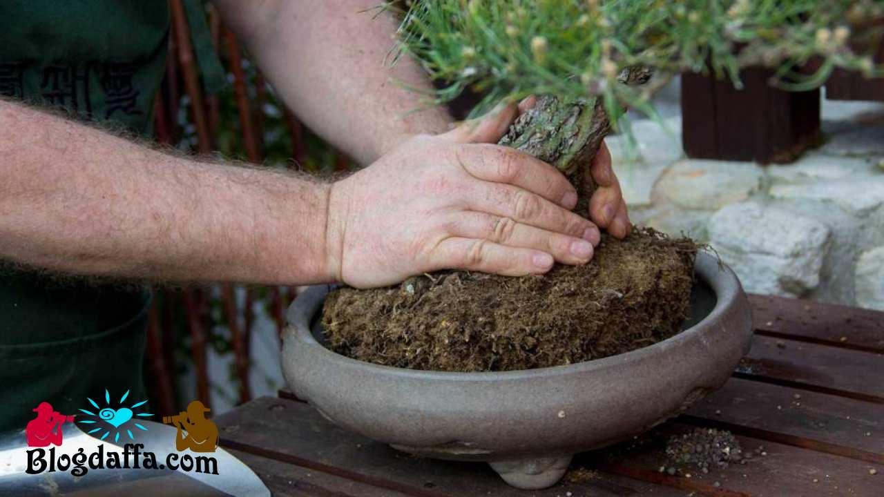 Mengganti pot bonsai