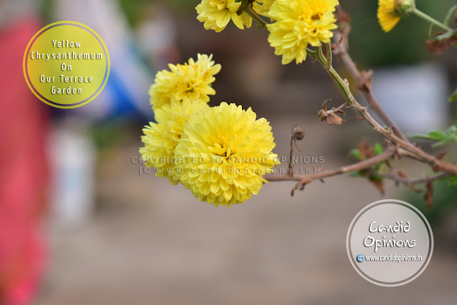 A Yellow Chrysanthemum On Our Terrace Garden