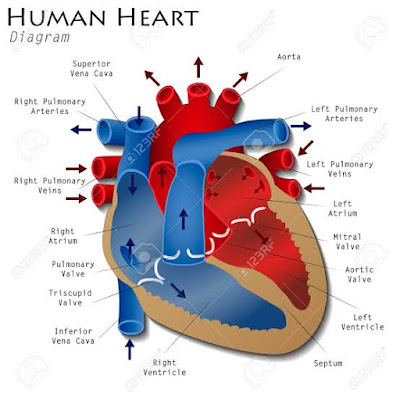 Heart diagram, heart attack, heart image