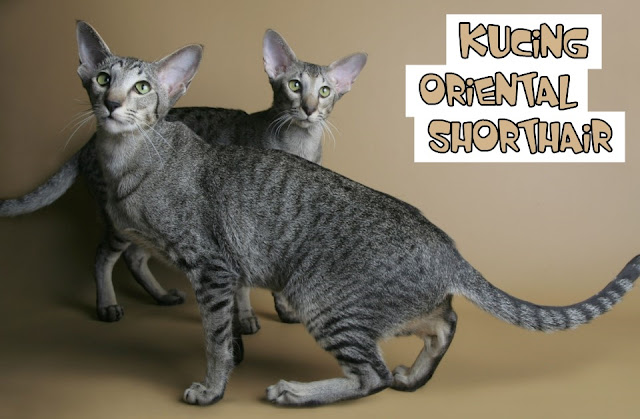 Kucing OSH