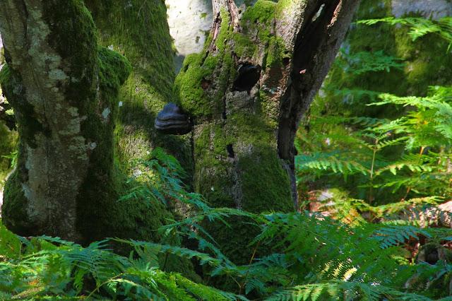 Amadouvier sur tronc de hêtre, Rocher Canon, Fontainebleau