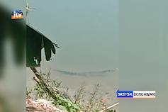 Penampakan Buaya Berjemur Di Tepi Bengawan Solo Lamongan