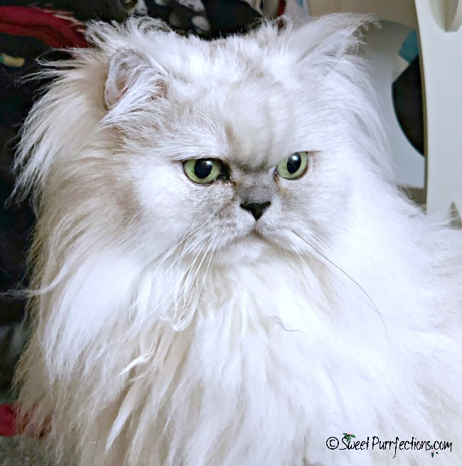 Silver Shaded Persian Cat head shot