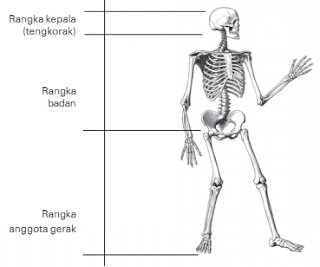 3 Bagian rangka manusia lengkap beserta fungsinya