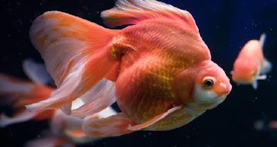 Contoh gambar ikan mas koki Ryukin