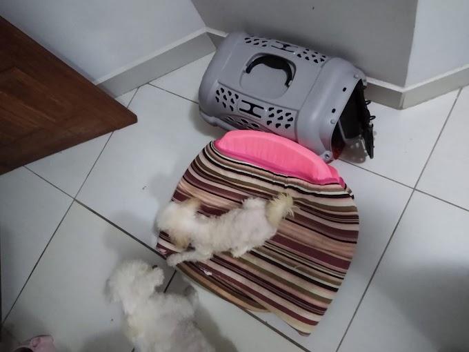 Fofolete/poodle , primeira tosa, 03/08/2019