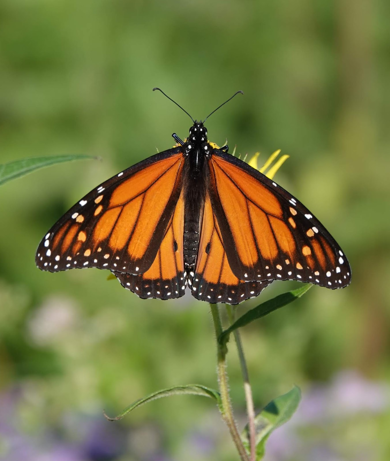 Butterfly Release 2020 Fair Lawn Nj.Cape May Monarch Monitoring Project 2019