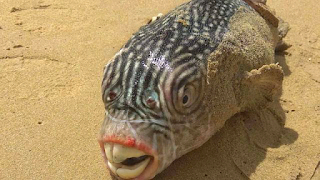 Footballfish From The Deep Washes Up On Shore, And It's Really Freaky|interesting news|