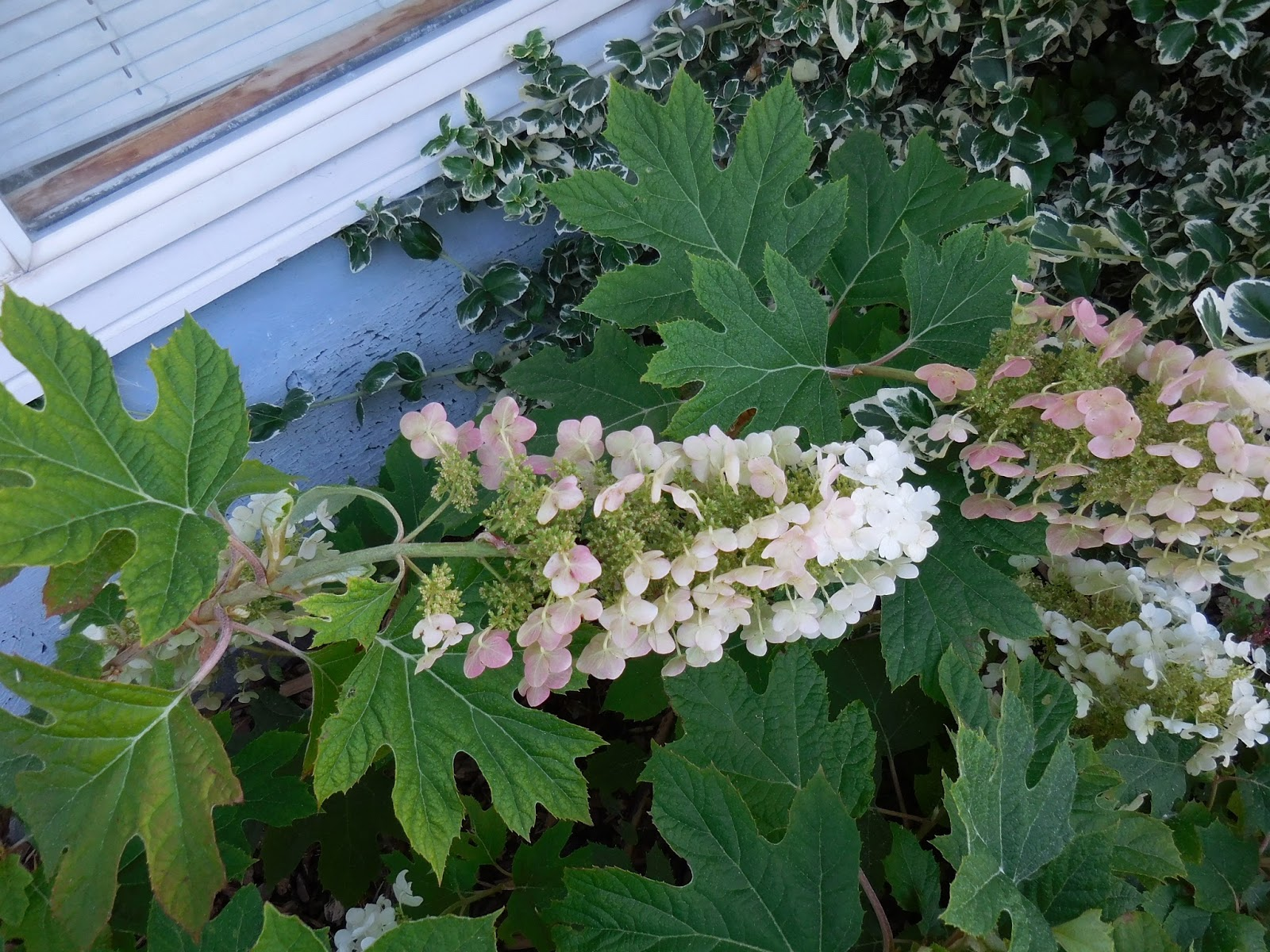 Plant File Hydrangea Quercifolia Oakleaf Of Books And Blooms