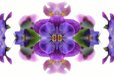 Perfect Pansy, design, abstract, nature, background, image