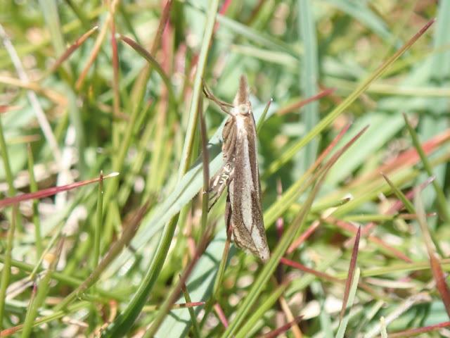Crambus cyrnellus