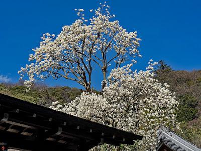 Haku-mokuren (Yulan magnolia) flowers: Engaku-ji