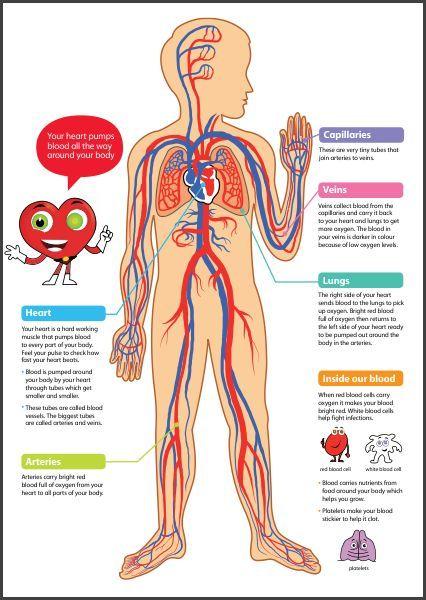 Cbm Ceip Pintor Pedro Cano The Circulatory System The