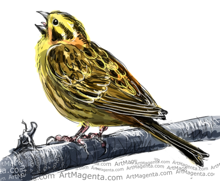 yellowhammer bird coloring pages - photo #44
