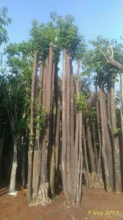 Gambar pohon pule di monas