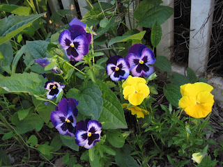 Gorgeous pansies in varying shades of purple. Bright yellow-orange flowers.