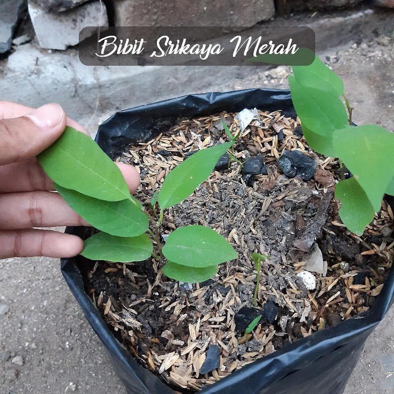 Bibit buah viral Srikaya Merah Sulawesi Selatan