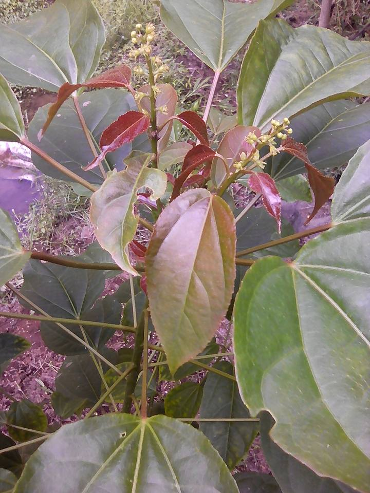 tanaman herbal polokyo