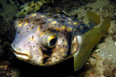 Gambar Ikan Porcupine Fish